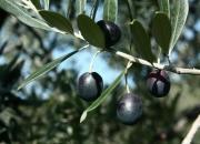 giornata in campagna tra gli ulivi